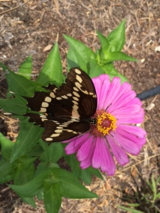 Butterfly on Enchantment Zinnia